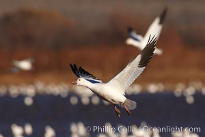 Snow goose in flight, slowing before landing to join a flock of snow geese resting on a pond. Bosque del Apache National Wildlife Refuge, Socorro, New Mexico, USA, Chen caerulescens, natural history stock photograph, photo id 21897