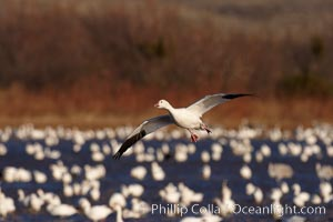 Snow goose in flight, slowing before landing to join a flock of snow geese resting on a pond, Chen caerulescens, Bosque del Apache National Wildlife Refuge, Socorro, New Mexico