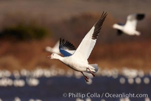 Snow goose in flight, slowing before landing to join a flock of snow geese resting on a pond. Bosque del Apache National Wildlife Refuge, Socorro, New Mexico, USA, Chen caerulescens, natural history stock photograph, photo id 22052