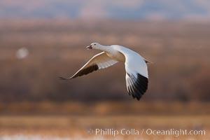 Snow goose in flight. Bosque Del Apache, Socorro, New Mexico, USA, Chen caerulescens, natural history stock photograph, photo id 26257