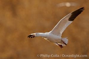Snow goose in flight. Bosque Del Apache, Socorro, New Mexico, USA, Chen caerulescens, natural history stock photograph, photo id 26270
