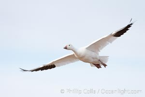 Snow goose in flight. Bosque Del Apache, Socorro, New Mexico, USA, Chen caerulescens, natural history stock photograph, photo id 26227