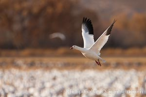 Snow goose in flight. Bosque Del Apache, Socorro, New Mexico, USA, Chen caerulescens, natural history stock photograph, photo id 26256