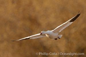 Snow goose in flight. Bosque Del Apache, Socorro, New Mexico, USA, Chen caerulescens, natural history stock photograph, photo id 26260