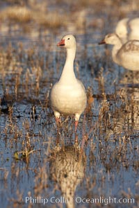 Snow goose portrait, as it stand in shallow water, Chen caerulescens, Bosque del Apache National Wildlife Refuge, Socorro, New Mexico