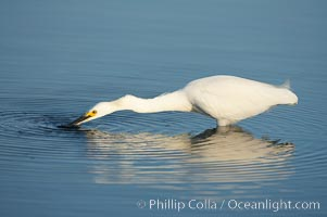 Snowy egret disturbs the water in an effort to attract small fish, Egretta thula, San Diego Bay National Wildlife Refuge