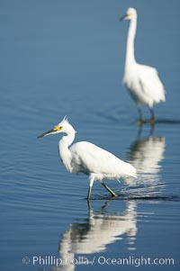 Snowy egret wading, foraging for small fish in shallow water. San Diego Bay National Wildlife Refuge, San Diego, California, USA, Egretta thula, natural history stock photograph, photo id 17457
