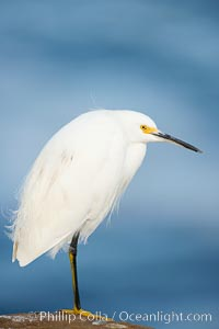 Snowy egret.  The snowy egret can be found in marshes, swamps, shorelines, mudflats and ponds.  The snowy egret eats shrimp, minnows and other small fish,  crustaceans and frogs.  It is found on all coasts of North America and, in winter, into South America. La Jolla, California, USA, Egretta thula, natural history stock photograph, photo id 15293