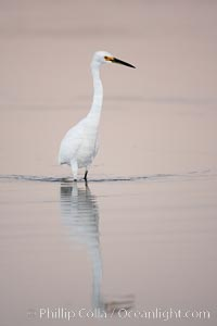Snowy egret wading, foraging for small fish in shallow water. San Diego Bay National Wildlife Refuge, San Diego, California, USA, Egretta thula, natural history stock photograph, photo id 17452