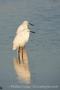 Snowy egret wading, foraging for small fish in shallow water. San Diego Bay National Wildlife Refuge, San Diego, California, USA, Egretta thula, natural history stock photograph, photo id 17464