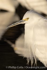 Snowy egret, Mission Bay, San Diego. The snowy egret can be found in marshes, swamps, shorelines, mudflats and ponds.  The snowy egret eats shrimp, minnows and other small fish,  crustaceans and frogs.  It is found on all coasts of North America and, in winter, into South America