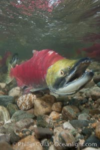 Image 26147, A male sockeye salmon, showing injuries sustained as it migrated hundreds of miles from the ocean up the Fraser River, swims upstream in the Adams River to reach the place where it will fertilize eggs laid by a female in the rocks.  It will die so after spawning. Adams River, Roderick Haig-Brown Provincial Park, British Columbia, Canada, Oncorhynchus nerka, Phillip Colla, all rights reserved worldwide. Keywords: actinopterygii, adams river, animalia, british columbia, canada, chordata, dominant run, fish, neopterygii, oncorhynchus, oncorhynchus nerka, outdoors, outside, provincial parks, reproduction, river, roderick haig-brown provincial park, salmon, salmon run, salmonidae, salmoniformes, sockeye salmon, spawn, spawning, teleostei, underwater.