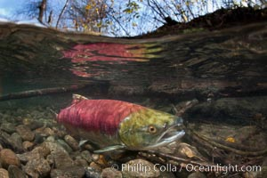 A sockeye salmon swims in the shallows of the Adams River, with the surrounding forest visible in this split-level over-under photograph. Adams River, Roderick Haig-Brown Provincial Park, British Columbia, Canada, Oncorhynchus nerka, natural history stock photograph, photo id 26158