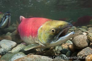 Adams River sockeye salmon.  A female sockeye salmon swims upstream in the Adams River to spawn, having traveled hundreds of miles upstream from the ocean. Roderick Haig-Brown Provincial Park, British Columbia, Canada, Oncorhynchus nerka, natural history stock photograph, photo id 26159