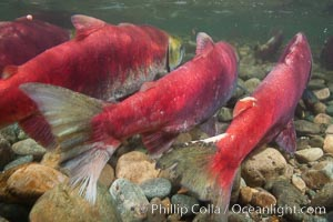 Sockeye salmon, migrating upstream in the Adams River to return to the spot where they were hatched four years earlier, where they will spawn, lay eggs and die. Adams River, Roderick Haig-Brown Provincial Park, British Columbia, Canada, Oncorhynchus nerka, natural history stock photograph, photo id 26184
