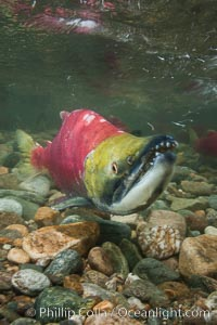 Sockeye salmon, migrating upstream in the Adams River to return to the spot where they were hatched four years earlier, where they will spawn, lay eggs and die. Roderick Haig-Brown Provincial Park, British Columbia, Canada, Oncorhynchus nerka, natural history stock photograph, photo id 26392
