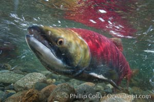 Sockeye salmon, migrating upstream in the Adams River to return to the spot where they were hatched four years earlier, where they will spawn, lay eggs and die. Roderick Haig-Brown Provincial Park, British Columbia, Canada, Oncorhynchus nerka, natural history stock photograph, photo id 26393