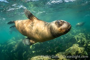 South American sea lion underwater, Otaria flavescens, Patagonia, Argentina, Otaria flavescens, Puerto Madryn, Chubut