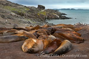Southern elephant seals, gathered in a small colony near the ocean, a pinniped wallow. Livingston Island, Antarctic Peninsula, Antarctica, Mirounga leonina, natural history stock photograph, photo id 25916