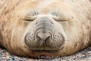 Southern elephant seal, Mirounga leonina, Valdes Peninsula, Argentina, Puerto Piramides, Chubut