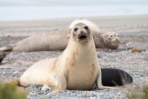 Southern elephant seal, juvenile, Mirounga leonina, Valdes Peninsula, Argentina, Puerto Piramides, Chubut