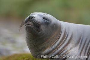 Southern elephant seal, juvenile, Mirounga leonina, Fortuna Bay