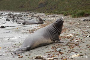 Southern elephant seal, juvenile. The southern elephant seal is the largest pinniped, and the largest member of order Carnivora, ever to have existed. It gets its name from the large proboscis (nose) it has when it has grown to adulthood, Mirounga leonina, Godthul