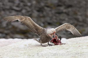 Southern giant petrel kills and eats an Adelie penguin chick, Shingle Cove. Shingle Cove, Coronation Island, South Orkney Islands, Southern Ocean, Macronectes giganteus, natural history stock photograph, photo id 25027