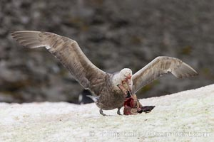 Southern giant petrel kills and eats an Adelie penguin chick, Shingle Cove. Shingle Cove, Coronation Island, South Orkney Islands, Southern Ocean, Macronectes giganteus, natural history stock photograph, photo id 25177