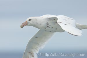 White nellie, the white morph of the southern giant petrel.  Southern giant petrel in flight, Macronectes giganteus
