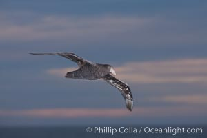 Southern giant petrel in flight at dusk, after sunset, as it soars over the open ocean in search of food. Falkland Islands, United Kingdom, Macronectes giganteus, natural history stock photograph, photo id 23692