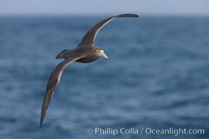 "Image 23694, Southern giant petrel in flight, soaring over the open ocean.  This large seabird has a wingspan up to 80"" from wing-tip to wing-tip. Falkland Islands, United Kingdom, Macronectes giganteus"