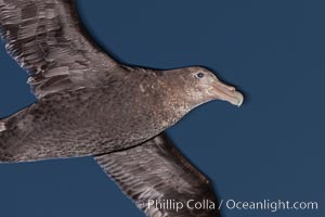 Southern giant petrel in flight at dusk, after sunset, as it soars over the open ocean in search of food