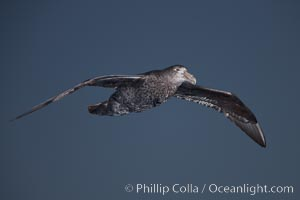 Southern giant petrel in flight. The distinctive tube nose (naricorn), characteristic of species in the Procellariidae family (tube-snouts), is easily seen