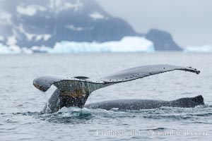Southern humpback whale in Antarctica, lifting its fluke (tail) before diving in Cierva Cove, Antarctica. Cierva Cove, Antarctic Peninsula, Antarctica, Megaptera novaeangliae, natural history stock photograph, photo id 25518