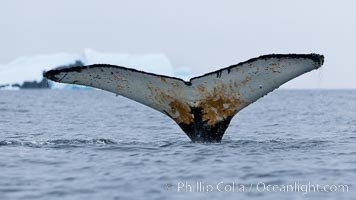 Southern humpback whale in Antarctica, with significant diatomaceous growth (brown) on the underside of its fluke, lifting its fluke before diving in Cierva Cove, Antarctica, Megaptera novaeangliae