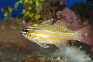 Southern orange-lined cardinalfish., Apogon properupta, natural history stock photograph, photo id 08684
