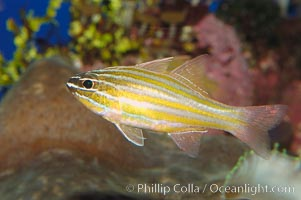 Image 08685, Southern orange-lined cardinalfish., Apogon properupta