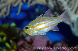 Southern orange-lined cardinalfish., Apogon properupta, natural history stock photograph, photo id 10291