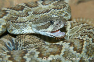 Southern Pacific rattlesnake.  The southern Pacific rattlesnake is common in southern California from the coast through the desert foothills to elevations of 10,000 feet.  It reaches 4-5 feet (1.5m) in length, Crotalus viridis helleri