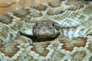 Southern Pacific rattlesnake.  The southern Pacific rattlesnake is common in southern California from the coast through the desert foothills to elevations of 10,000 feet.  It reaches 4-5 feet (1.5m) in length., Crotalus viridis helleri, natural history stock photograph, photo id 12588