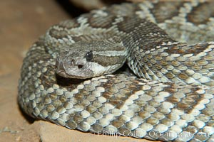 Southern Pacific rattlesnake.  The southern Pacific rattlesnake is common in southern California from the coast through the desert foothills to elevations of 10,000 feet.  It reaches 4-5 feet (1.5m) in length., Crotalus viridis helleri, natural history stock photograph, photo id 14694