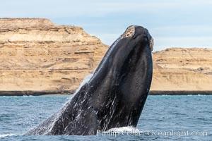 Southern right whale breaching, Eubalaena australis, Argentina, Eubalaena australis, Puerto Piramides, Chubut