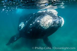 Southern right whale underwater, Eubalaena australis, Argentina, Puerto Piramides, Chubut
