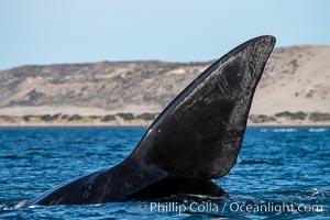 Southern right whale, Eubalaena australis, Argentina, Eubalaena australis, Puerto Piramides, Chubut