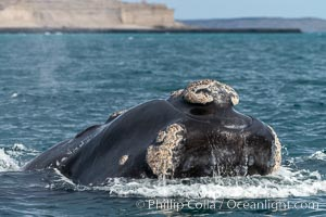 Southern right whale, Eubalaena australis, Argentina. Puerto Piramides, Chubut, Eubalaena australis, natural history stock photograph, photo id 35925