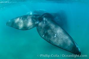 Southern right whale fluke underwater, Patagonia, Argentina, Eubalaena australis, Puerto Piramides, Chubut