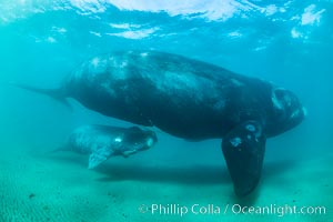 Southern right whale mother and calf, Eubalaena australis, Argentina, Eubalaena australis, Puerto Piramides, Chubut