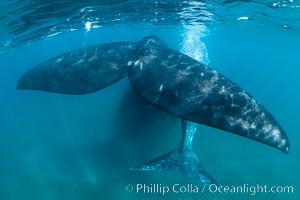 Image 35924, Southern right whale mother and calf, flukes, Eubalaena australis, Argentina. Puerto Piramides, Chubut, Eubalaena australis, Phillip Colla, all rights reserved worldwide.   Keywords: animal:animalia:argentina:atlantic:balaenidae:cetacean:chordata:eubalaena australis:fin:fluke:mammal:mammalia:marine mammal:patagonia:peninsula valdes:puerto piramides:right whale:southern right whale:tail:valdes peninsula:whale.