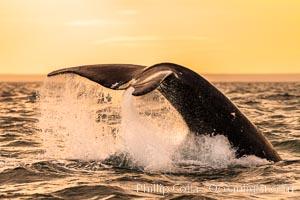 Southern right whale raising fluke out of the water, Patagonia, Argentina, Eubalaena australis, Puerto Piramides, Chubut